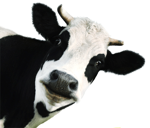 Krowa - mlekoma